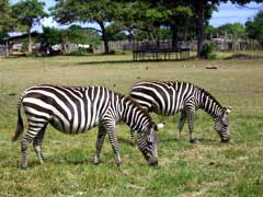 Zebras grazing on Calauit Island