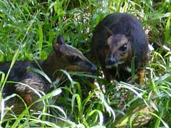 The Palawan Mousedeer